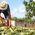 Produção de milho pode superar 2,4 milhões de espigas em perímetros irrigados do Estado