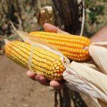 Sergipe deverá ter maior safra de milho dos últimos 10 anos, segundo IBGE